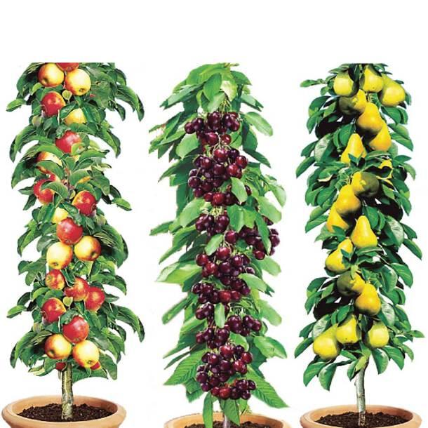 Column Fruit Trees (Set of 3)
